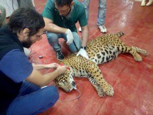 """Tres firmas pugnan por las obras del centro de salud animal en """"El Puma"""" $ 100 Millones"""